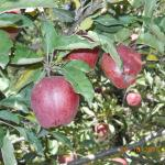 Apples in the garden in Kalpa next to the hotel GOlden Apple