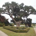 Middleton Place live oak