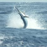 350 lb Blue Marlin caught with the Star Fleet in Mazatlan on one of our many trips.