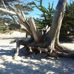 Beautiful wood and trees within the beach area, only a short walk from Cypress Inn to the ocean.