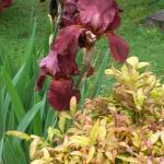 A dark maroon iris in the garden