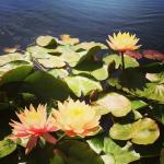 water lilies in the ponds