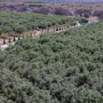 View over olive trees