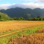 Rice Paddy Field after the Harvest
