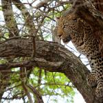 Another Leopard after his busbuk lunch