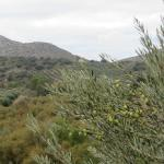 Olive trees on the property