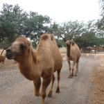 The Camels stole my Heart