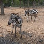 The Zebras are beatiful
