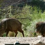 Javelinas near the pools, early morning