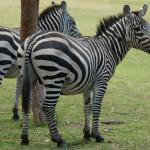 Zebras on the grounds