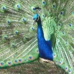 Peacock Spreading it's Feathers