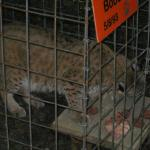 Bobcat at Big Cat Rescue