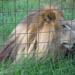 Lion at Big Cat Rescue