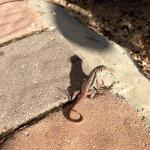 Curly tailed liZards everywhere