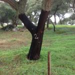 Typical Cork Tree at the Farm