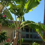Bananna Tree on the grounds