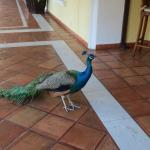 Friendly peacocks roaming free (will eat peanuts or bread from your hand)