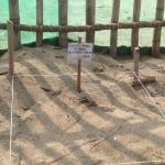 Protecting the turtle eggs until they hatch