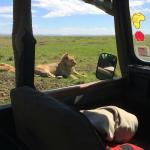 lions near the car