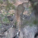 Leopard at Ranthambore National Park