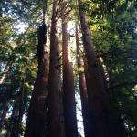 magnificent giant redwoods