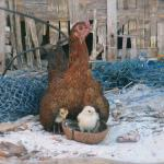 Mother hen in the local village