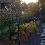 grape vines on our walk