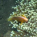 Skunk Anemonefish at the Coral Garden, Tulamben