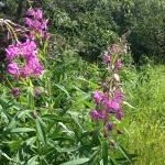 Fireweed growing wild on the B&B's grounds.