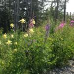 Our wildflowers include columbine, fireweed, and lupine