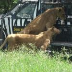 Zookeeper in the cage feeding free roaming lions