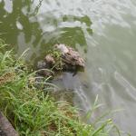 Turtles in the reservoir 2