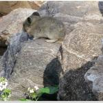 Pika by the trail. Aww!!!