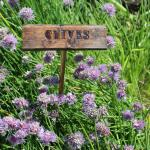 Chives in the gardens, maintained by URI Master Gardeners