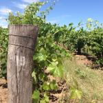 171 year old vines