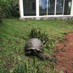 Giant tortoise snacking outside the Yoga Studio