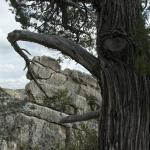 Pine Tree on the trail