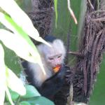White Faced Capuchin Outside Room A