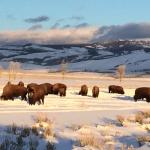 Herd of bison at sunset