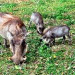 resident warthogs.. so cute