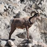 bigg horn sheep