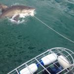 Great White breaking the surface with divers in the cage!