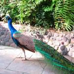 The peacock that struts around the garden
