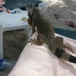 Beach Iguana Friend