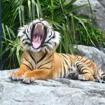 The tiger showing off!