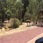 Emu family crossing within the resort