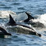 Travelling common dolphins