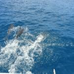 Dolphins playing in front of tour boat