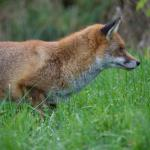One of the foxes