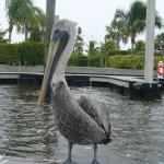brown pelican riding on our boat